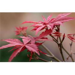 句容淘氧彩叶苗木、红枫、红枫图片