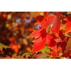 北美红枫供应商-朔州北美红枫-淘氧彩叶苗木合作社