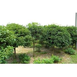 香樟、  淘氧彩叶苗木、香樟报价图片