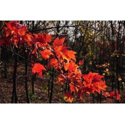 本溪北美红枫-句容淘氧彩叶苗木-北美红枫图片