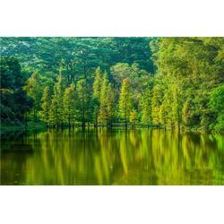 枣庄落羽杉-落羽杉哪家好-淘氧彩叶苗木图片