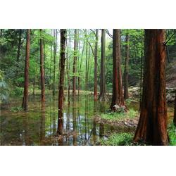 句容淘氧彩叶苗木 供应3~20公分水杉-平顶山水杉图片