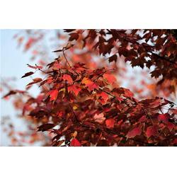 贛州北美紅楓-淘氧彩葉苗木