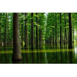 水杉-贵州水杉-句容淘氧彩叶苗木(查看)图片