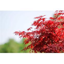 威海红枫-红枫报价-淘氧彩叶苗木图片