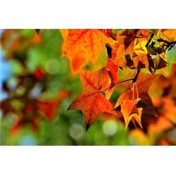 衢州五角枫-五角枫报价-淘氧彩叶苗木图片