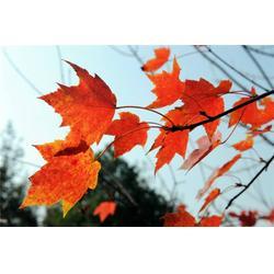 北美红枫- 句容淘氧彩叶苗木-北美红枫