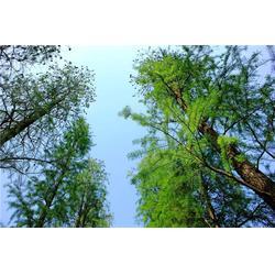 池杉-句容淘氧彩叶苗木-景德镇池杉图片