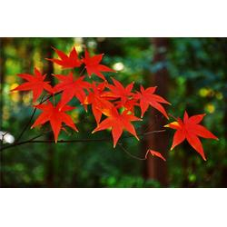 供应5~10公分红枫_淘氧彩叶苗木(在线咨询)_宿州红枫图片