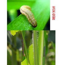 玉米专用叶面肥的喷施注意事项-叶面肥-拜农中药叶面肥(多图)图片