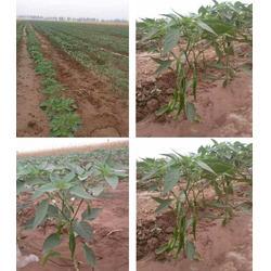 禾奇正_拜农生物(在线咨询)_禾奇正中药菌肥的图片