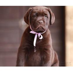 拉布拉多幼犬,尊宠天下宠物店,2个月拉布拉多幼犬图片