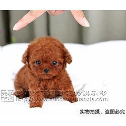 纯种泰迪犬幼犬哪里卖-纯种泰迪犬幼犬-北京尊宠天下图片