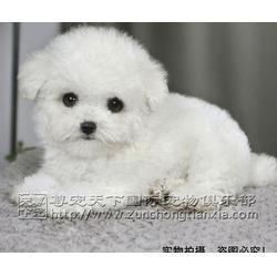 北京尊宠天下(图),泰迪幼犬多少钱,泰迪幼犬