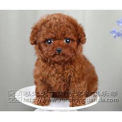纯黑色泰迪幼犬价钱_泰迪幼犬_尊宠天下宠物店图片