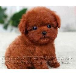 巧克力色泰迪犬哪里卖-尊宠天下宠物店-房山区巧克力色泰迪犬图片