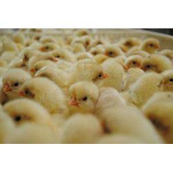 禄劝火鸡苗销售、明丽农业(在线咨询)、禄劝火鸡苗图片