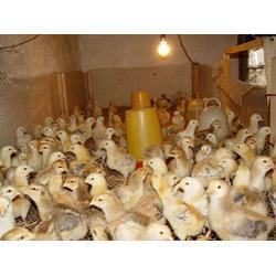宜良土鸡鸡苗-明丽农业-宜良土鸡鸡苗厂家直销图片