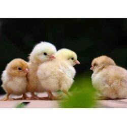 盘龙区鸡苗厂家直销、明丽农业、盘龙区鸡苗图片