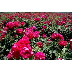 迪庆红玫瑰苗-迪庆红玫瑰苗-夏氏花卉图片