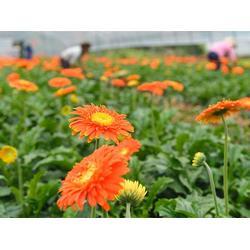 夏氏花卉(图)、丽江非洲菊种苗、丽江非洲菊种苗图片