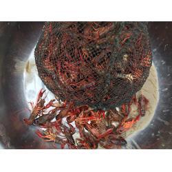 元泉湾生态龙虾养殖(图)|扬州龙虾饲养|宁夏龙虾图片