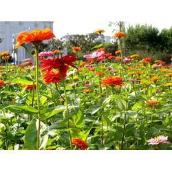 南京巴山洛水景观(图)、花海打造公司、重庆花海图片