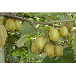 精品果园,猕猴桃苗供应商,猕猴桃苗图片