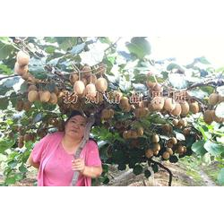 猕猴桃苗 黄金果,精品果园(在线咨询),猕猴桃苗