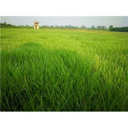 草坪厂家-宜昌草坪-百慕大草皮服务图片