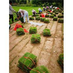 百慕大草坪订购 户外草坪-鄂州草坪图片