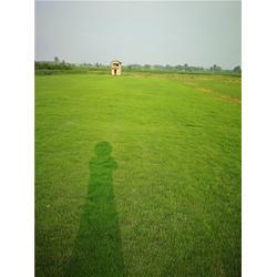 草坪草,草坪,百慕大草皮服务(查看)