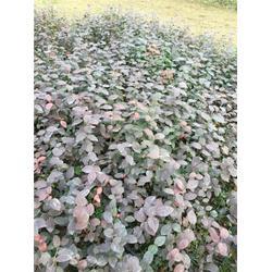 三年生蓝莓苗,泰安蓝丰园艺场,出售三年生蓝莓苗