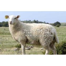 获取肉羊饲养的方法饲料预混料图片