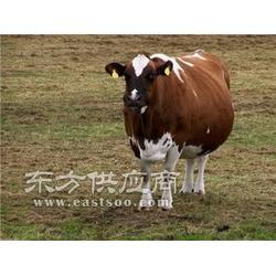 肉牛饲料新配方饲料图片