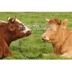 如何让肉牛短期内增肥