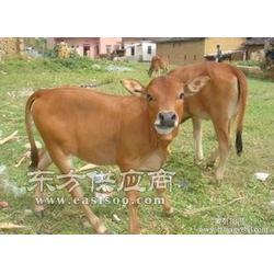 合理配方的增重犊牛饲料图片