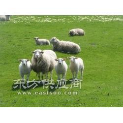 能增加产羊羔多胎的母羊饲料图片