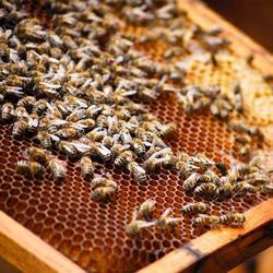 四川蜜蜂养殖|贵州蜂盛|蜜蜂养殖公司图片