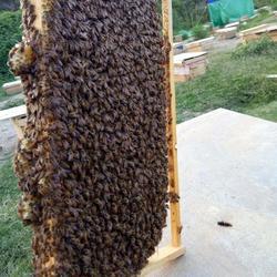 中蜂养殖、贵州蜂盛、贵州中蜂养殖技术图片