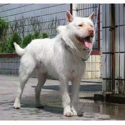 下司犬一只多少钱,从江下司犬,贵州蜂盛图片