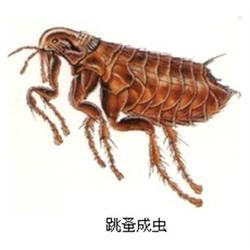唐山灭跳蚤公司、灭跳蚤、清波环保技术开发图片
