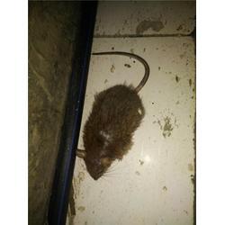 灭鼠公司哪家专业-灭鼠公司-天津清波环保(查看)图片
