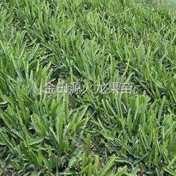 红心火龙果苗市场价、金田源火龙果质好味佳、上海红心火龙果苗图片