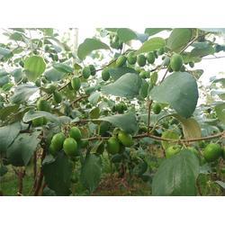 苹果枣种植技术、满园香、苹果枣图片