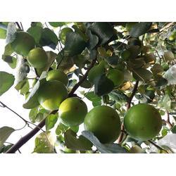 青枣生产厂家-满园香(在线咨询)南宁青枣图片