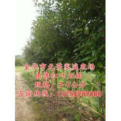 高杆红叶石楠树-元芳家庭农场苗木基地-4公分高杆红叶石楠树图片