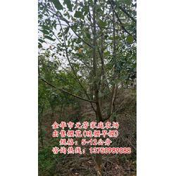 6公分樱花哪家好、【元芳家庭农场】、台州6公分樱花图片