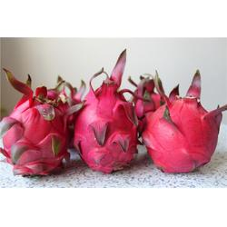 火龙果种苗-大博金火龙果早结丰产-红肉火龙果种苗