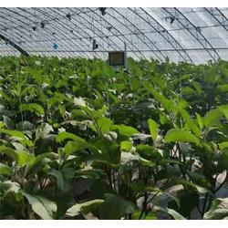 led植物生长灯植物灯-合肥植物灯-红皎阳植物生长灯图片